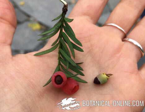 Foto de hojas, semillas arilo y frutos de tejo