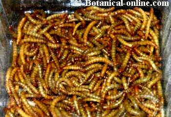 Escarabajo acuatico reproduccion asexual de las plantas