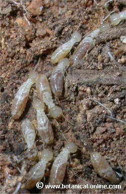Caracter sticas de las termitas - Acabar con las polillas ...