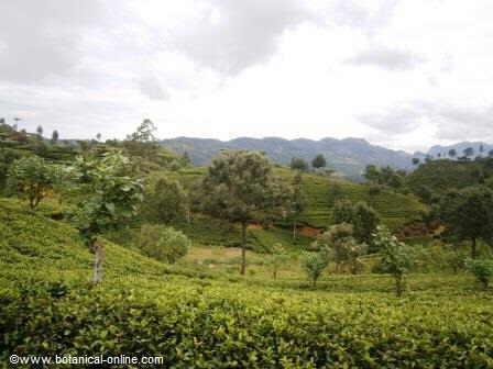 Asociacion cultivo té ( Camellia sinensis)