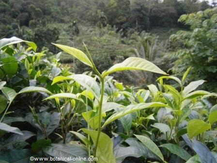 Photo of tea plant ( Camellia sinensis )
