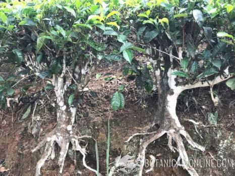 te verde planta camellia sinensis botanica