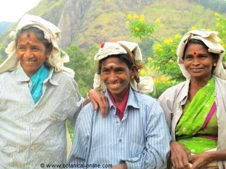 Mujeres cosechando té
