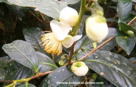 Flor de té verde ( Camellia sinensis)