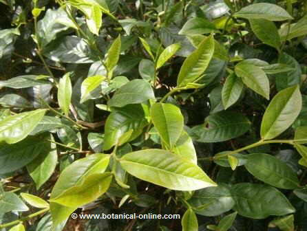 Leaves of green tea ( Camellia sinensis)