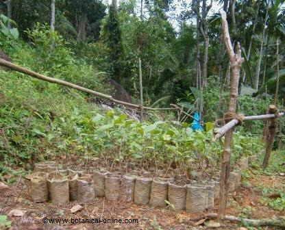 Cultivo de té por esquejes