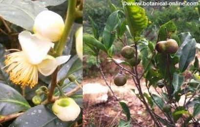 Flor y fruto de té verde