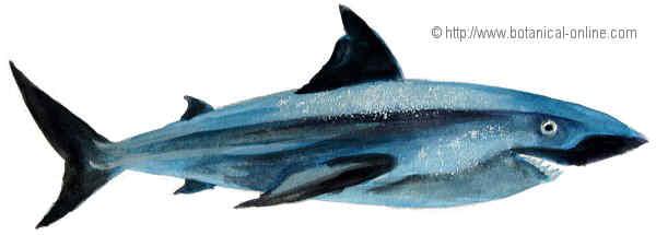 Dibujo de tiburon blanco