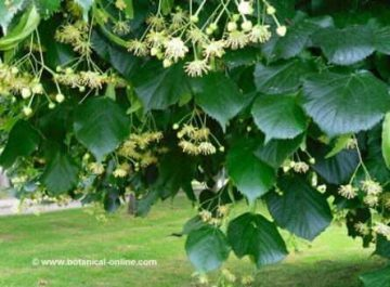 Flores de tila
