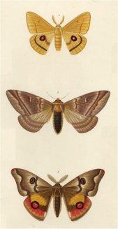 tipos-mariposas