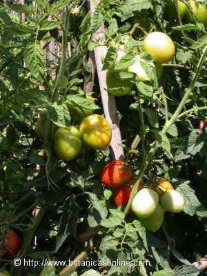 cultivo tomatera