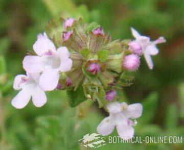 detalle flores tomillo