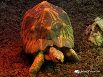 Tortuga estrellada de Madagascar