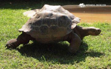 Tortuga gigante de las Galápagos