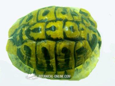 Foto de tortuga mediterránea (escondida en su caparazón)