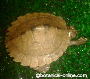 tortuga con ojos hinchados
