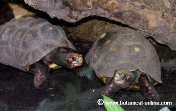 tortuga de patas rojas