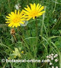planta de tragopogon pratensis