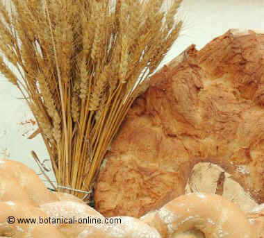 Trigo para pan