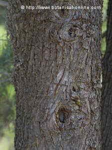 tronco de ciprés