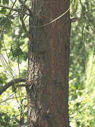 Prunus avium, detall del tronc