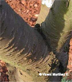 Prunus avium, detalle del tronco
