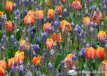 tulipanes jardin nazareno