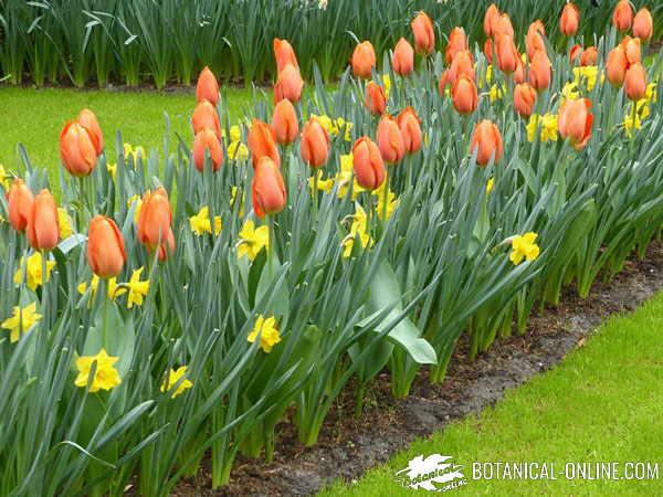 plantar tulipanes y narcisos