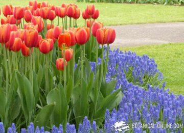 jardin de tulipanes y nazarenos