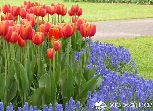 tulipanes jardin keukenhof