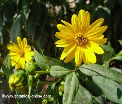 Tupinambo flor