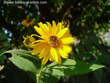 Flor tupinambo