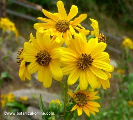 Alcachofa de Jerusalen flor
