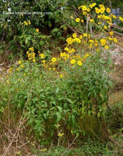 Planta tupinambo