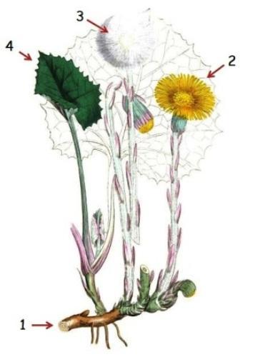 Ilustracion botanica