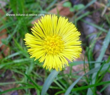 Fotografía de flor de tusílago