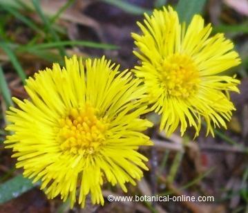 Flores de tusilago