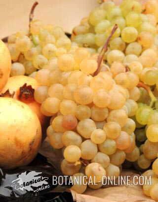 fotografia de uvas