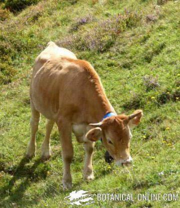 vaca ternera
