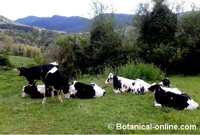 Razas de vacas lecheras y de carne for Vacas decorativas para jardin