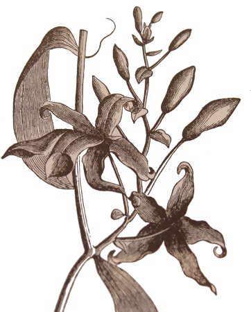 vainilla planta