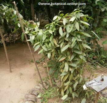 Aspecto general de una planta de vainilla ( Vanilla platiforme )
