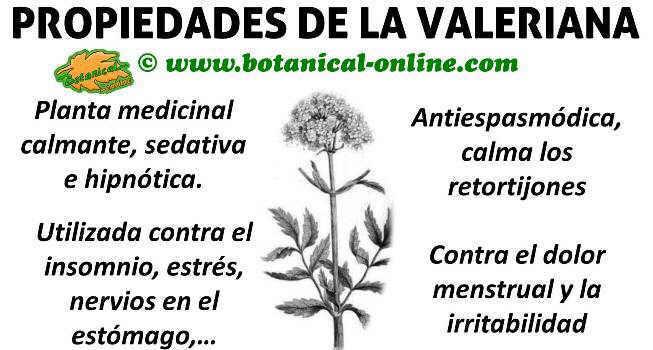 propiedades medicinales y beneficios de la valeriana planta para los nervios
