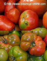 Foto de diferentes variedades de tomates