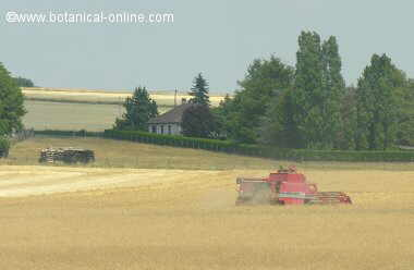 segadora de trigo