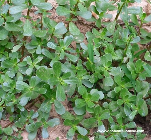 Verdolaga for Plantas de interior lengua de gato