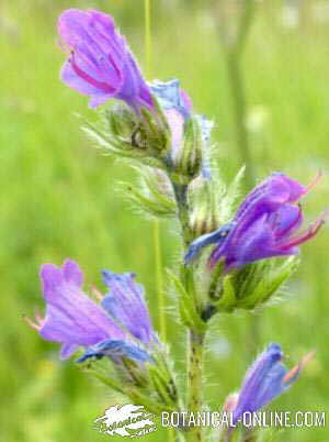 Flor de viborera
