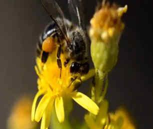 abeja sobre una flor mientras recoge el polen