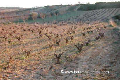 Foto de viña durante el invierno