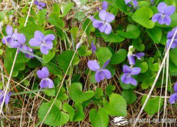 violeta medicinal